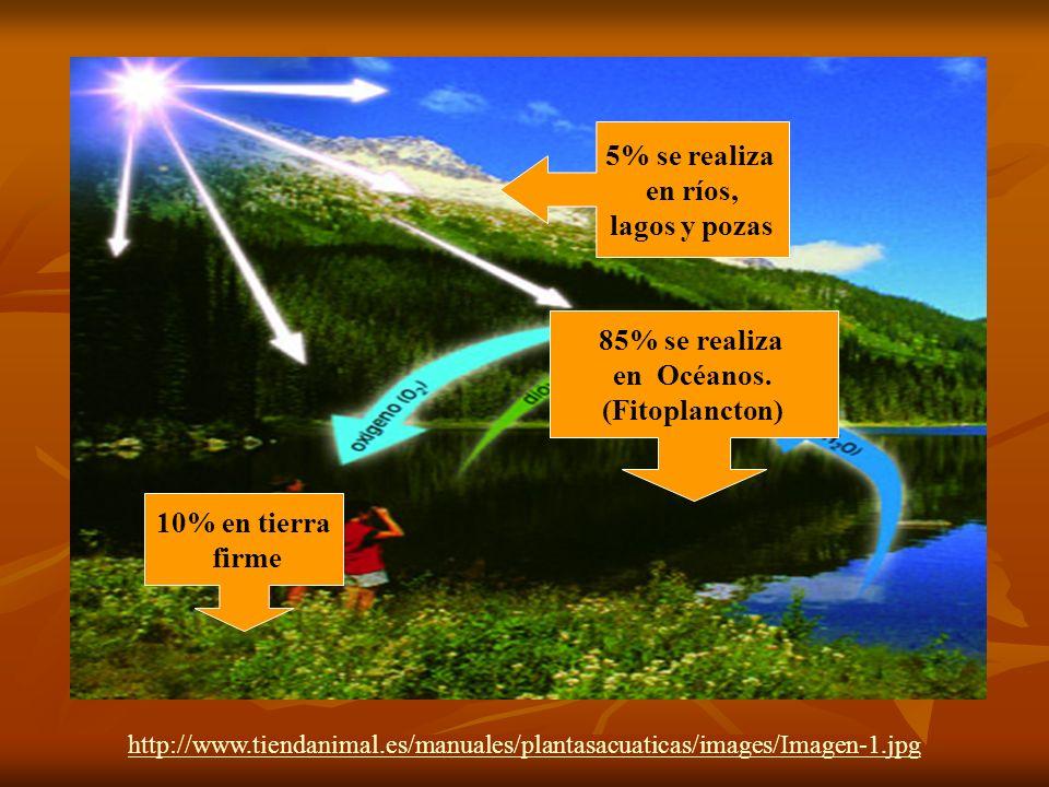 http://www.tiendanimal.es/manuales/plantasacuaticas/images/Imagen-1.jpg 85% se realiza en Océanos. (Fitoplancton) 5% se realiza en ríos, lagos y pozas