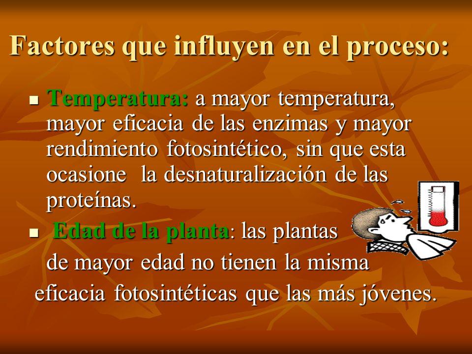 Temperatura: a mayor temperatura, mayor eficacia de las enzimas y mayor rendimiento fotosintético, sin que esta ocasione la desnaturalización de las p