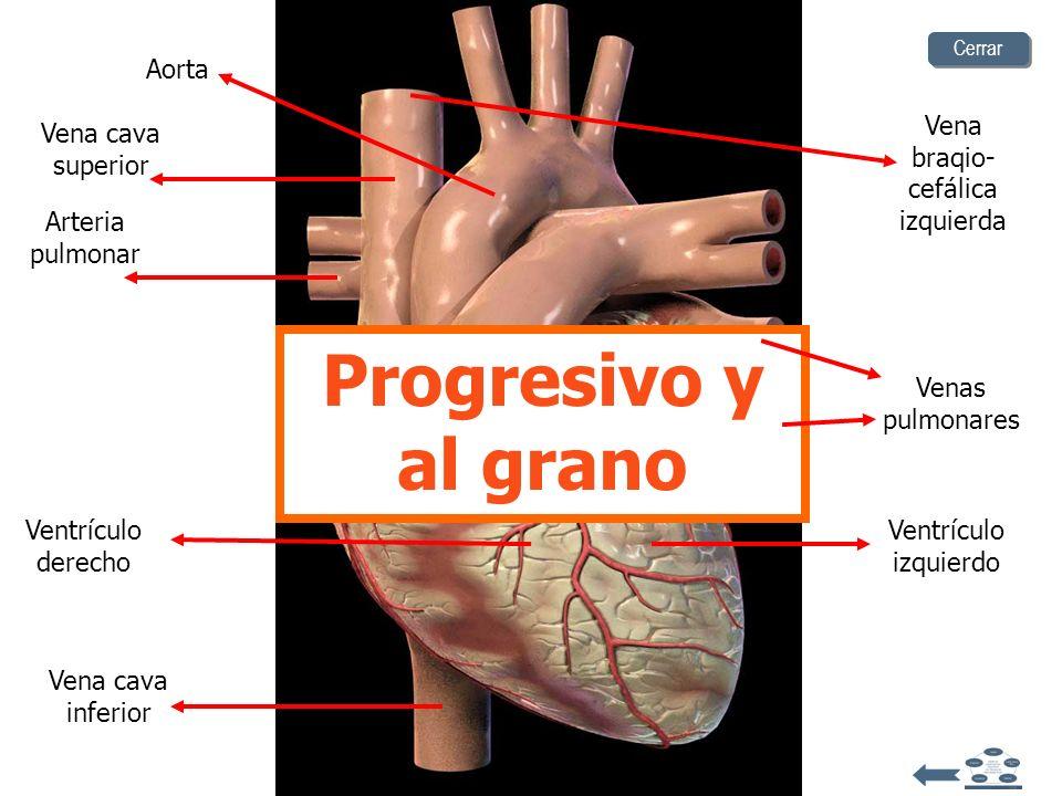 Aorta Venas pulmonares Vena cava superior Arteria pulmonar Vena cava inferior Vena braqio- cefálica izquierda Ventrículo izquierdo Ventrículo derecho