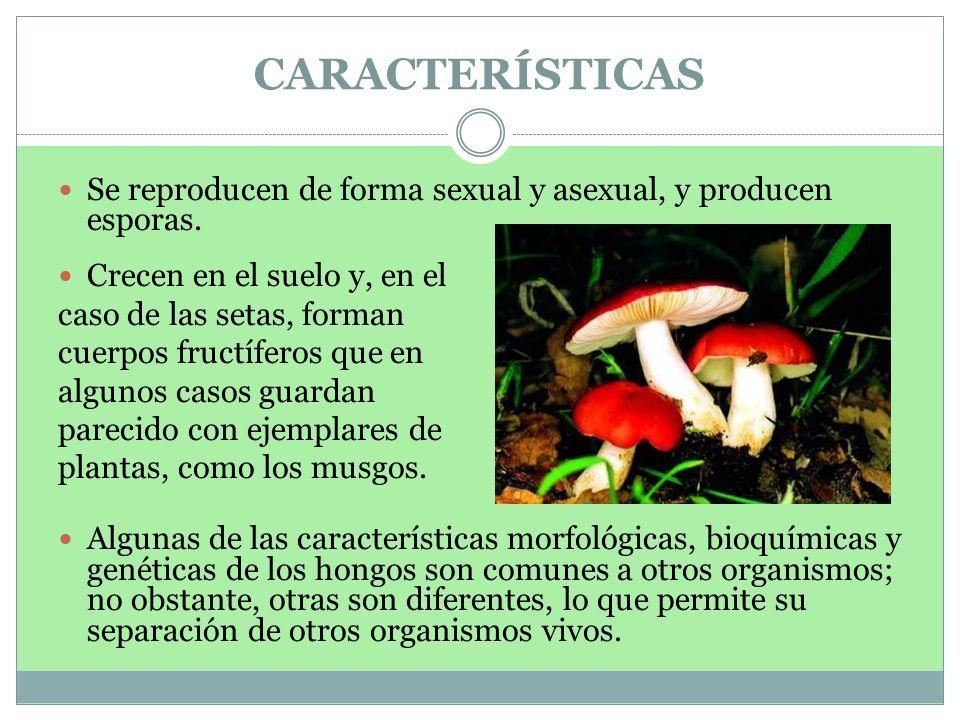 CARACTERÍSTICAS Se reproducen de forma sexual y asexual, y producen esporas. Crecen en el suelo y, en el caso de las setas, forman cuerpos fructíferos