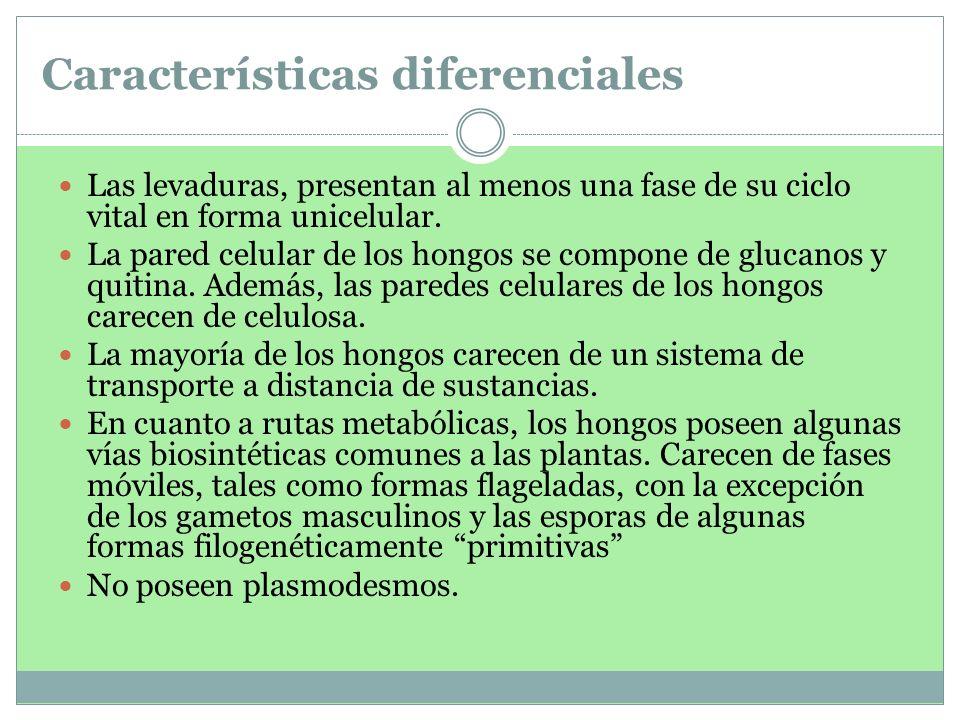 Características diferenciales Las levaduras, presentan al menos una fase de su ciclo vital en forma unicelular. La pared celular de los hongos se comp