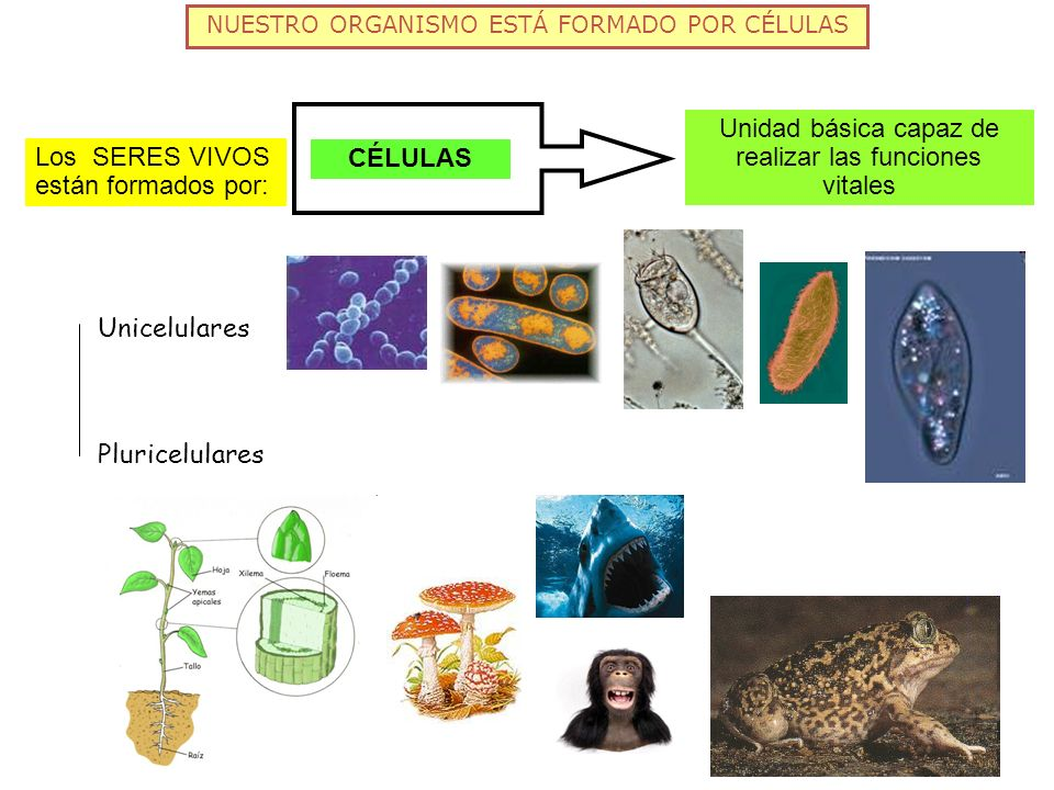 FUNCIONES CELULARES: NUTRICIÓN Proceso de NUTRICIÓN Materia: para mantener y renovar sus estructuras, crecer y reproducirse Energía: para realizar sus actividades, moverse o intercambiar sustancias con el medio.