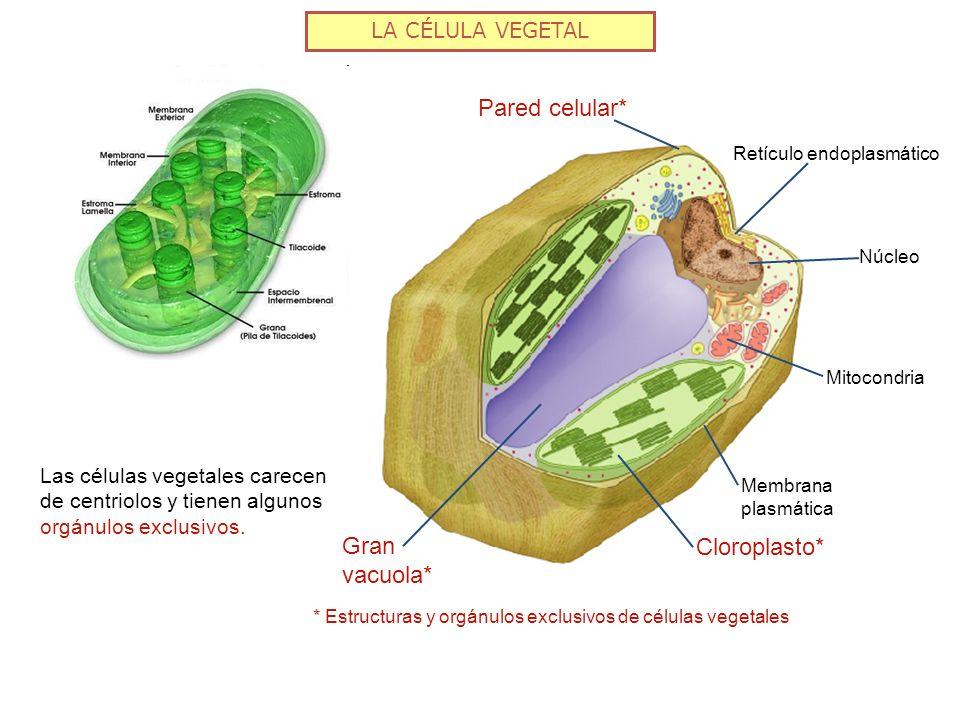 LA CÉLULA VEGETAL Pared celular* Retículo endoplasmático Núcleo Mitocondria Gran vacuola* Membrana plasmática Cloroplasto* Las células vegetales carec