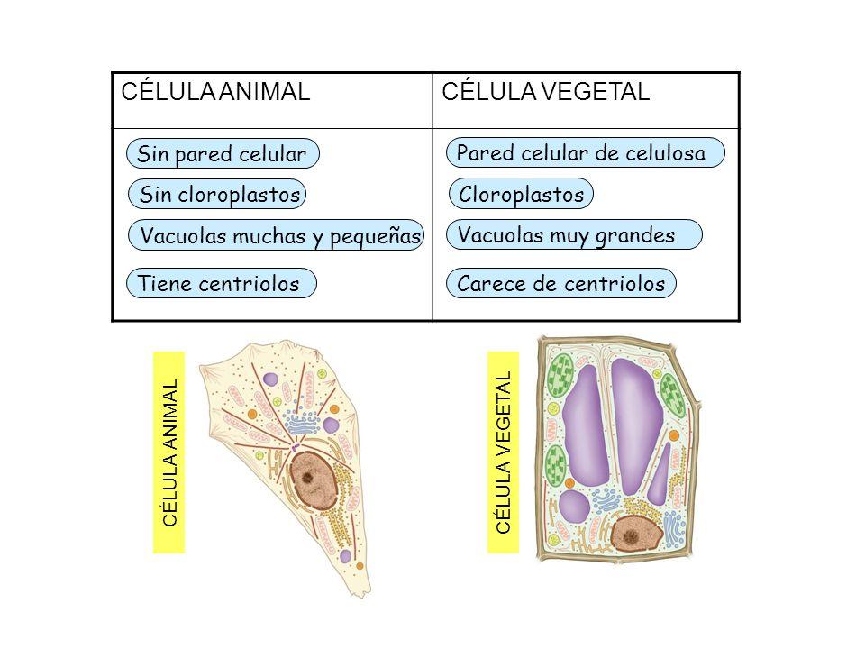 CÉLULA ANIMALCÉLULA VEGETAL Sin pared celular Sin cloroplastos Vacuolas muchas y pequeñas Pared celular de celulosa Cloroplastos Vacuolas muy grandes