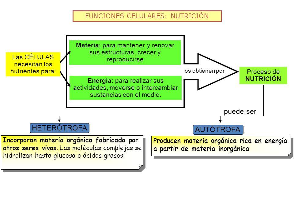 FUNCIONES CELULARES: NUTRICIÓN Proceso de NUTRICIÓN Materia: para mantener y renovar sus estructuras, crecer y reproducirse Energía: para realizar sus