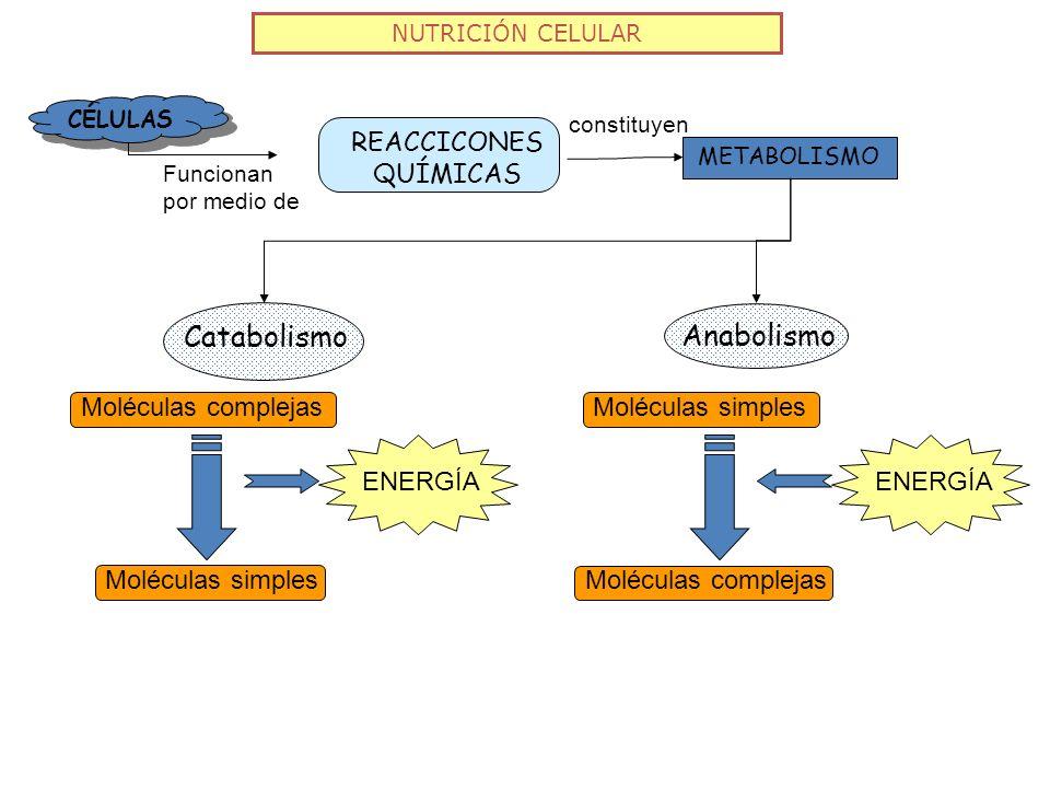 NUTRICIÓN CELULAR CÉLULAS REACCICONES QUÍMICAS Funcionan por medio de METABOLISMO constituyen Catabolismo Anabolismo Moléculas complejas Moléculas sim