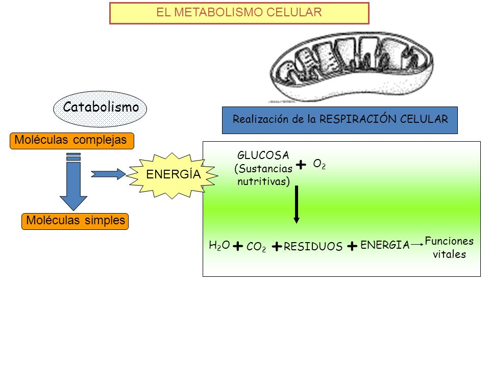 EL METABOLISMO CELULAR Catabolismo Moléculas complejas Moléculas simples ENERGÍA Realización de la RESPIRACIÓN CELULAR GLUCOSA (Sustancias nutritivas)