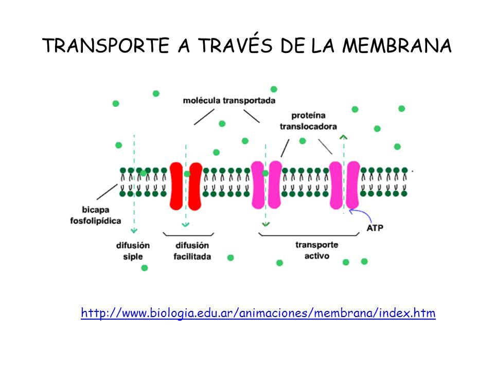 TRANSPORTE A TRAVÉS DE LA MEMBRANA http://www.biologia.edu.ar/animaciones/membrana/index.htm