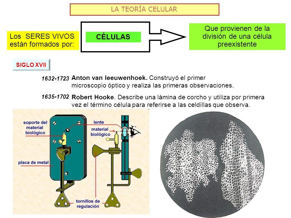 LA TEORÍA CELULAR Que provienen de la división de una célula preexistente CÉLULAS Los SERES VIVOS están formados por: SIGLO XVII 1632-1723 Anton van l