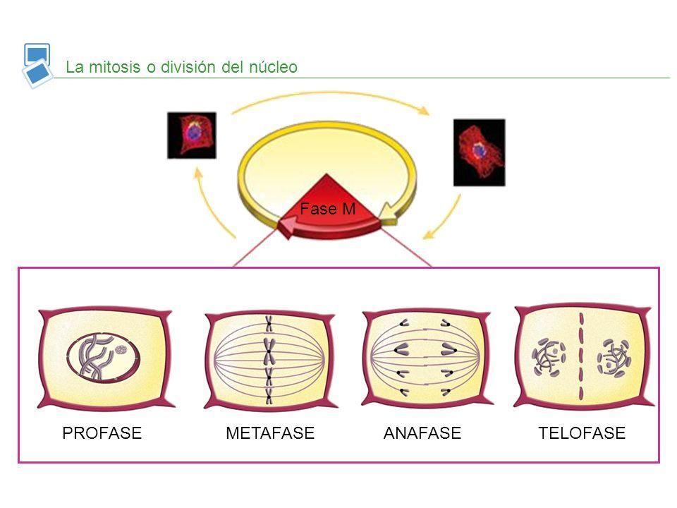 TELOFASE Los cromosomas se descondensan en cromatina ANAFASE Las cromátidas hermanas se separan METAFASE Los cromosomas se disponen en el centro PROFA