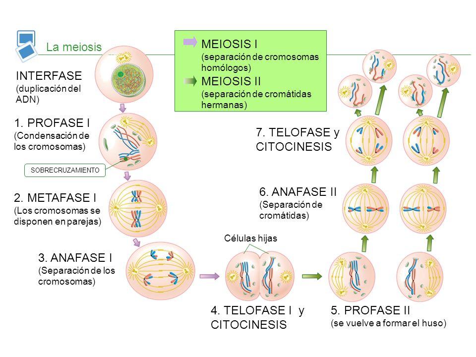 La meiosis INTERFASE (duplicación del ADN) 1. PROFASE I (Condensación de los cromosomas) 2. METAFASE I (Los cromosomas se disponen en parejas) 3. ANAF