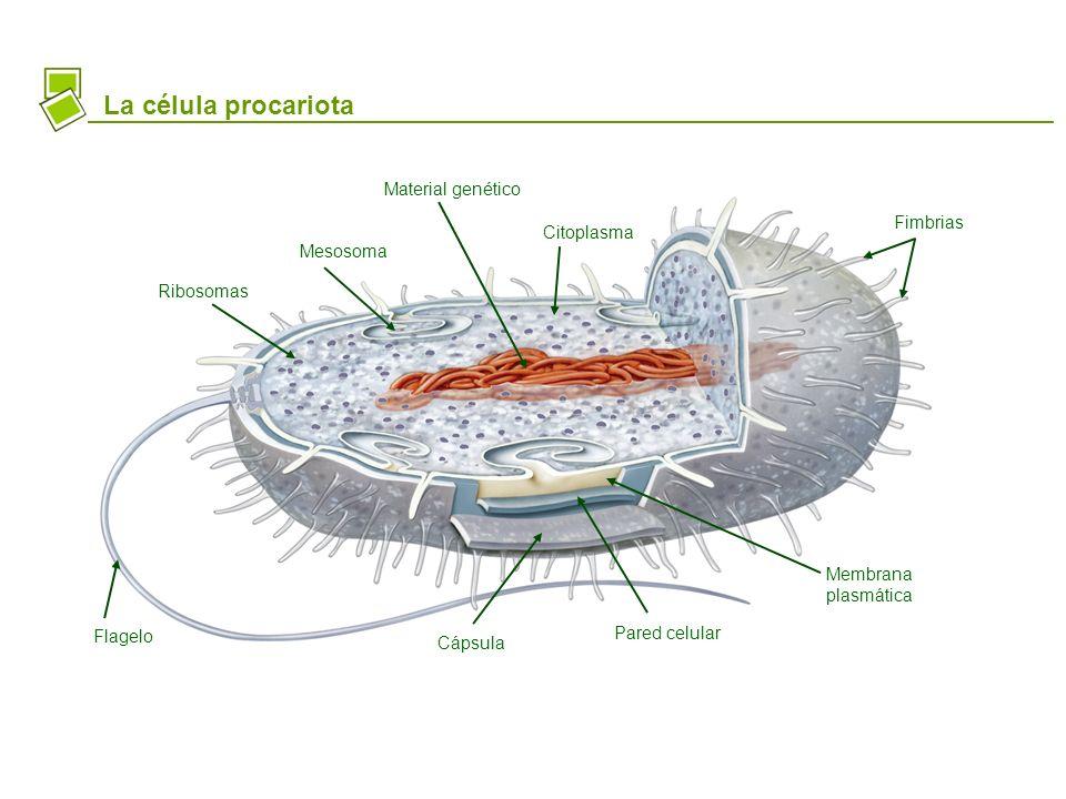 La célula procariota Material genético Ribosomas Fimbrias Flagelo Cápsula Pared celular Membrana plasmática Citoplasma Mesosoma