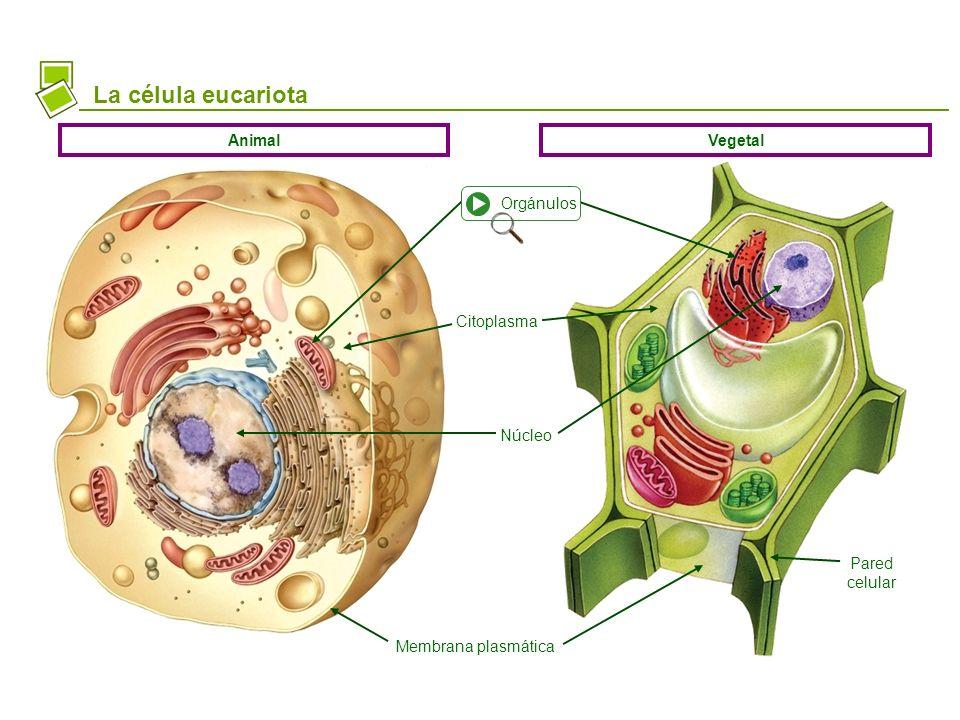 La célula eucariota Membrana plasmática Citoplasma Núcleo Pared celular AnimalVegetal Orgánulos