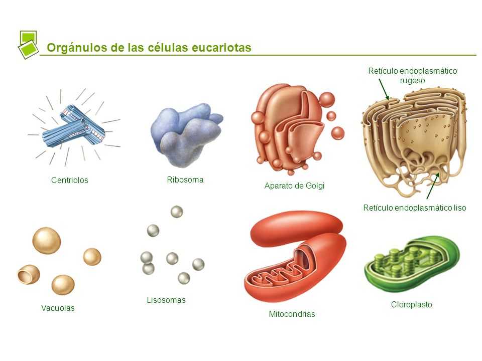 Orgánulos de las células eucariotas Centriolos Ribosoma Aparato de Golgi Retículo endoplasmático rugoso Retículo endoplasmático liso Mitocondrias Clor