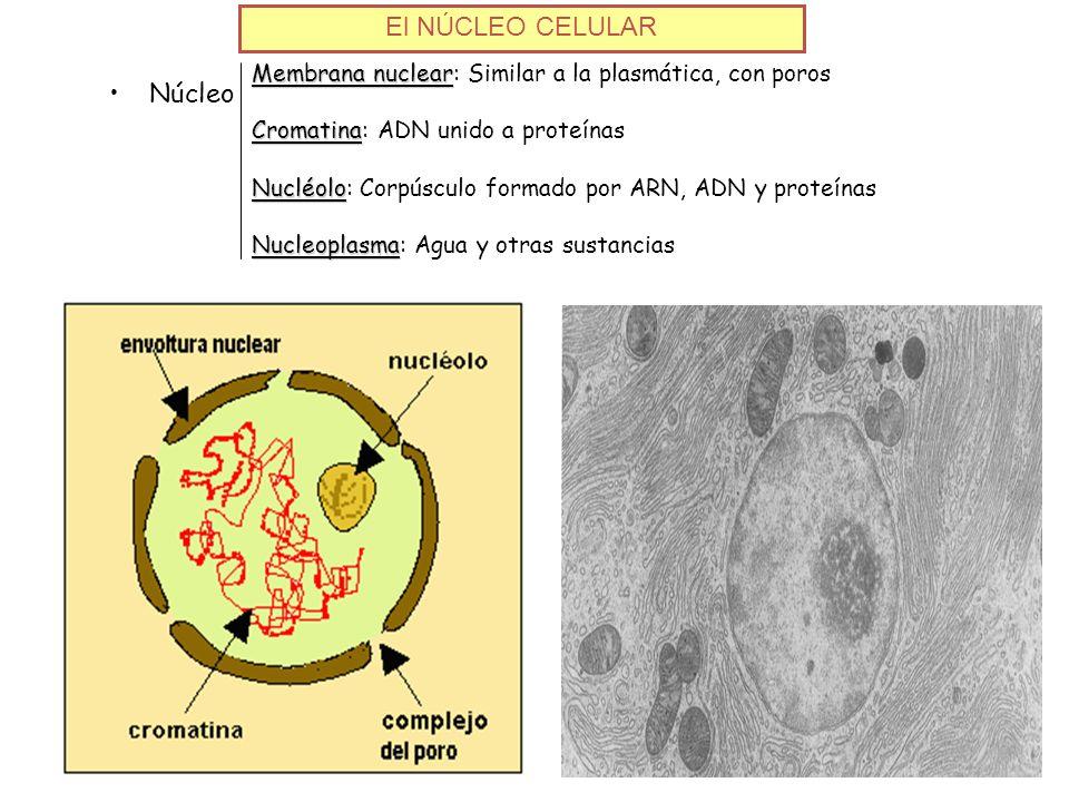 El NÚCLEO CELULAR Membrana nuclear Membrana nuclear: Similar a la plasmática, con poros Cromatina Cromatina: ADN unido a proteínas Nucléolo Nucléolo: