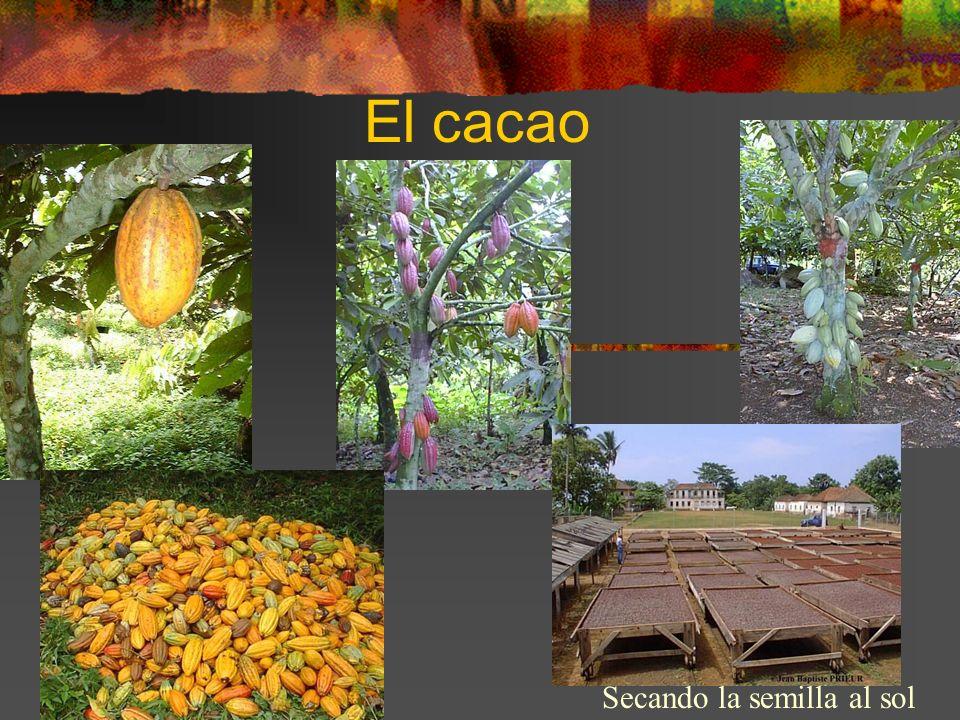 El cacao Secando la semilla al sol