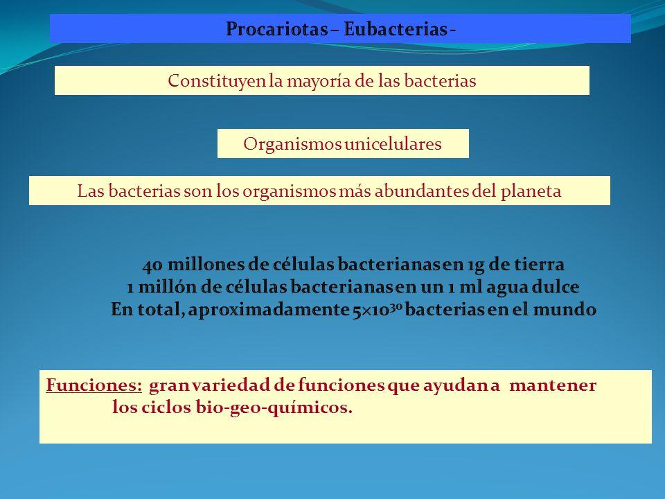 Organismos unicelulares Funciones: gran variedad de funciones que ayudan a mantener los ciclos bio-geo-químicos. Constituyen la mayoría de las bacteri
