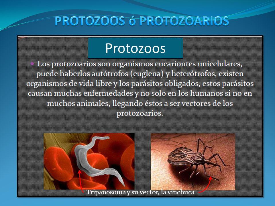 Protozoos Tripanosoma y su vector, la vinchuca