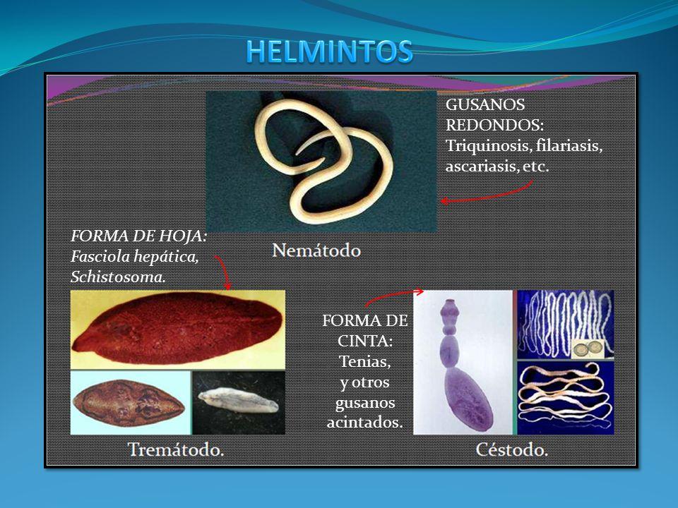 GUSANOS REDONDOS: Triquinosis, filariasis, ascariasis, etc. FORMA DE CINTA: Tenias, y otros gusanos acintados. FORMA DE HOJA: Fasciola hepática, Schis