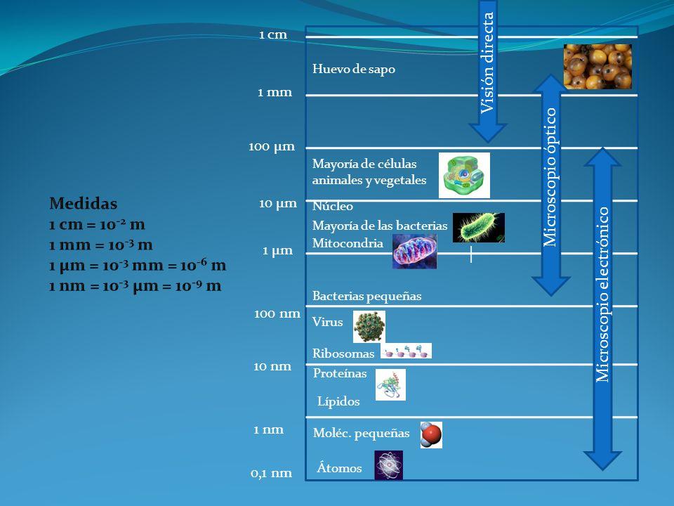 | Átomos 0,1 nm Moléc. pequeñas 1 nm 10 nm Lípidos Proteínas Virus Ribosomas 100 nm Bacterias pequeñas Núcleo Mayoría de las bacterias Mitocondria 1 µ