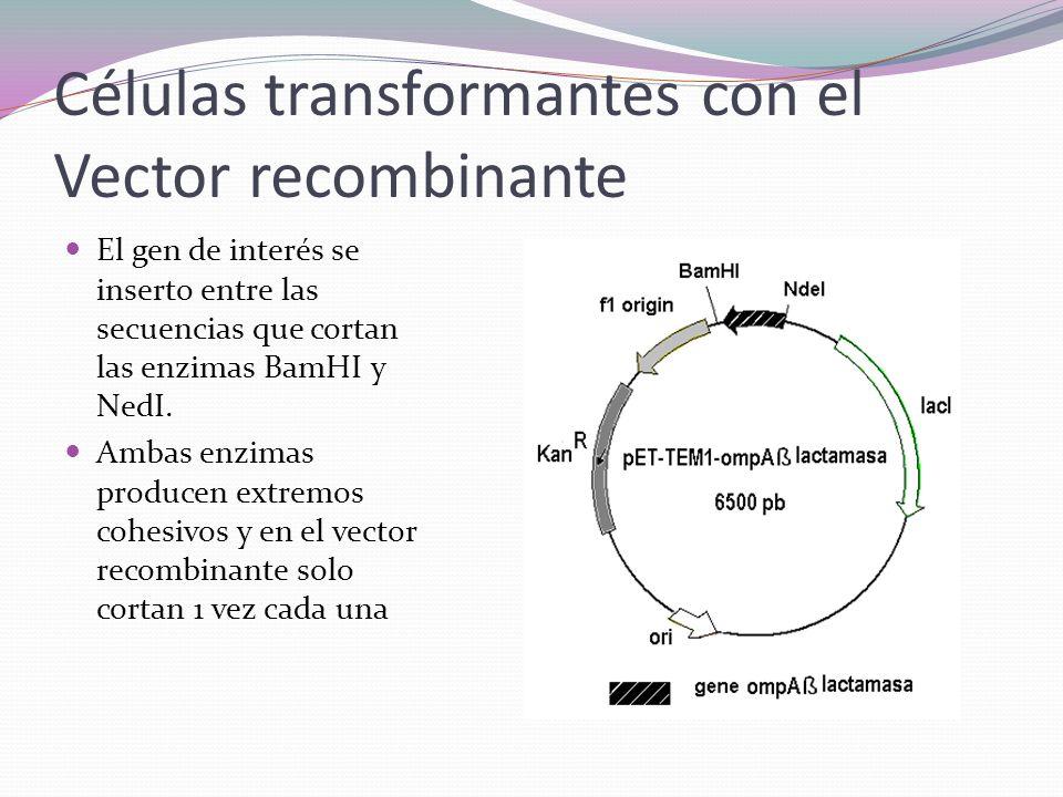 Células transformantes con el Vector recombinante El gen de interés se inserto entre las secuencias que cortan las enzimas BamHI y NedI. Ambas enzimas
