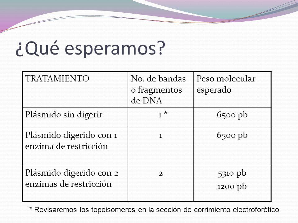 ¿Qué esperamos? TRATAMIENTONo. de bandas o fragmentos de DNA Peso molecular esperado Plásmido sin digerir 1 *6500 pb Plásmido digerido con 1 enzima de