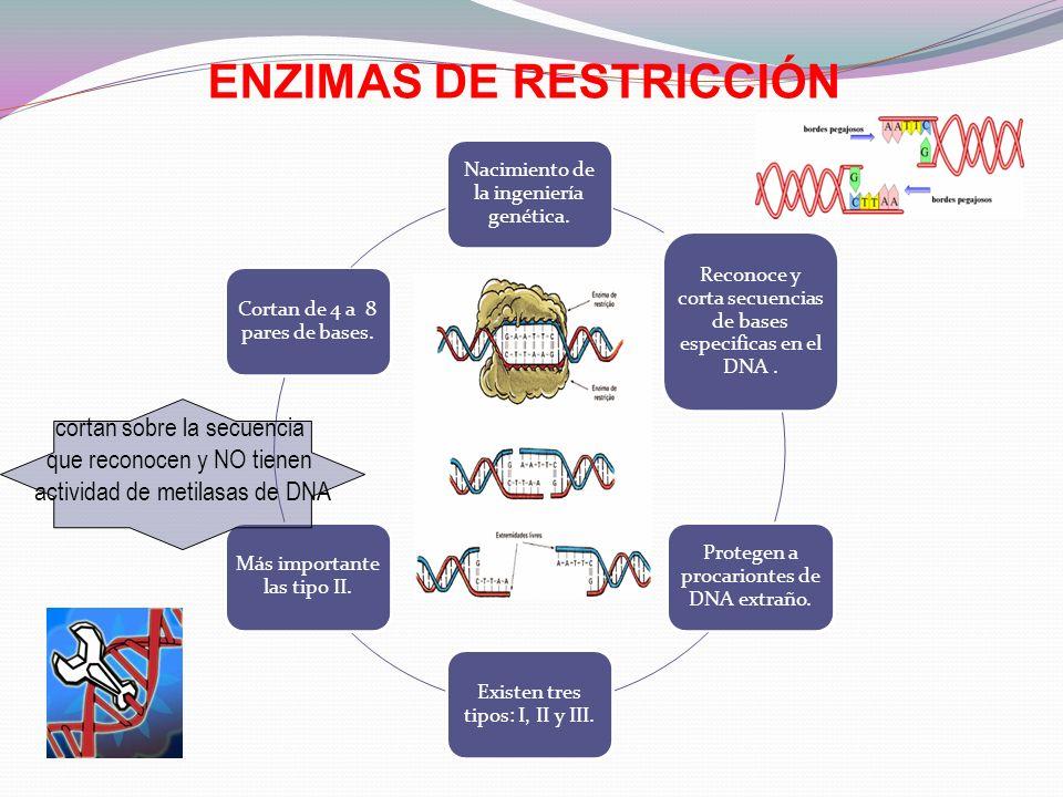 Enzimas de Restricción Las endonucleasas se denominan enzimas de restricción, debido a que es la forma de defensa de las bacterias contra la invasión por virus, es decir, restringen la invasión por el DNA viral.
