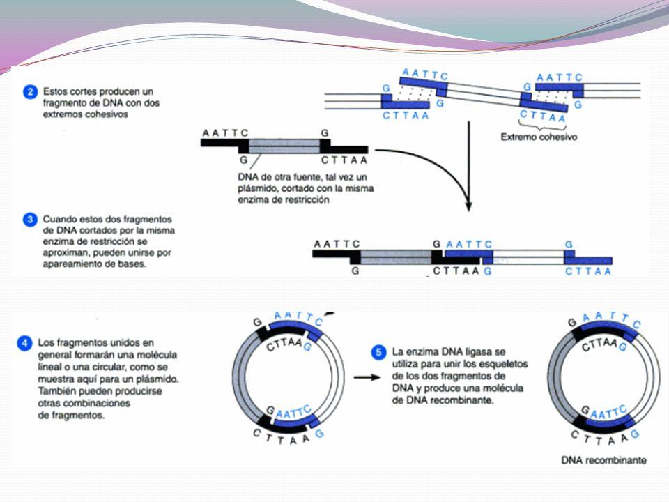 Una vez cortado el DNA se separa por electroforesis Gel de agarosa: especial para DNA Los fragmentos de DNA corren al positivo por los grupos fosfato Se tiñe con bromuro de etidio Se pueden purificar fragmentos de DNA del gel y utilizar.