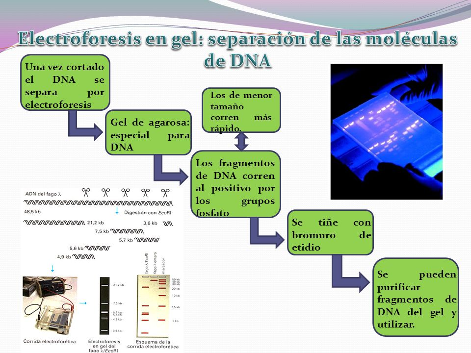 Una vez cortado el DNA se separa por electroforesis Gel de agarosa: especial para DNA Los fragmentos de DNA corren al positivo por los grupos fosfato