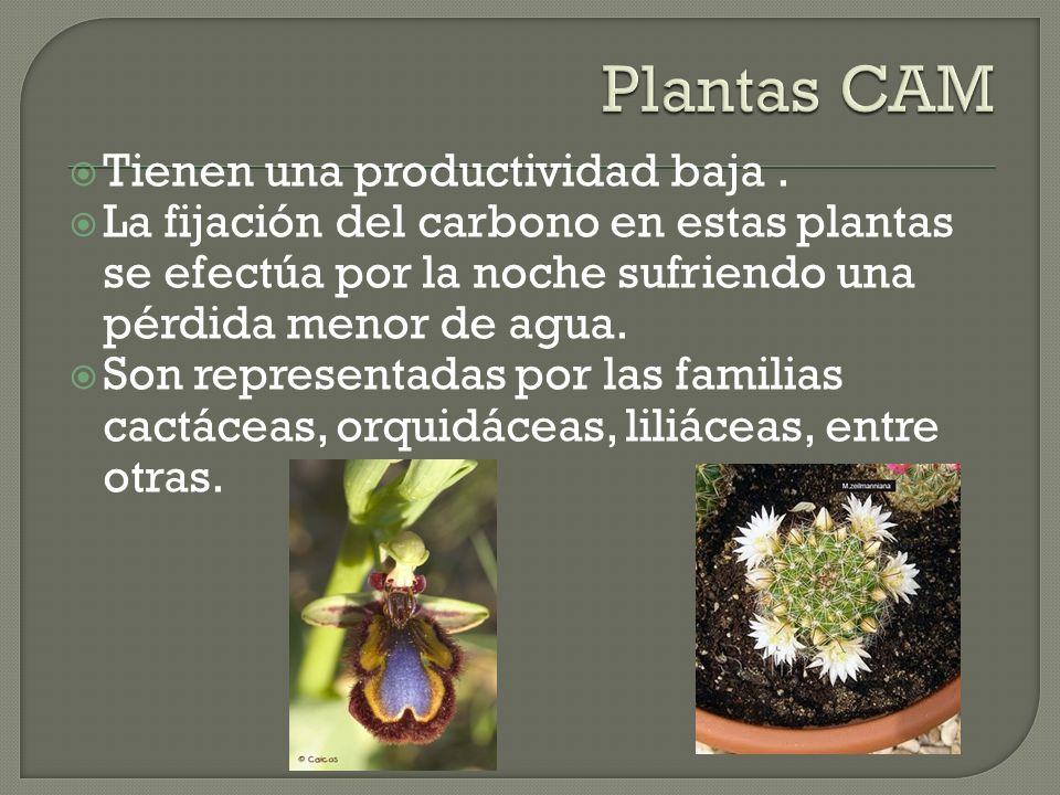 Tienen una productividad baja. La fijación del carbono en estas plantas se efectúa por la noche sufriendo una pérdida menor de agua. Son representadas