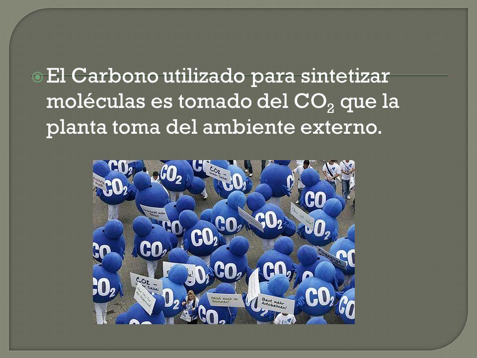 El Carbono utilizado para sintetizar moléculas es tomado del CO 2 que la planta toma del ambiente externo.