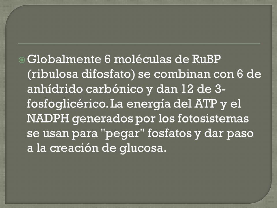 Globalmente 6 moléculas de RuBP (ribulosa difosfato) se combinan con 6 de anhídrido carbónico y dan 12 de 3- fosfoglicérico.