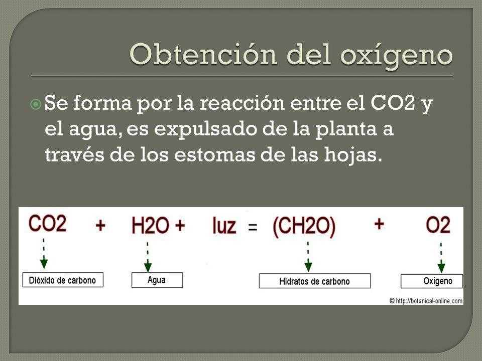 Se forma por la reacción entre el CO2 y el agua, es expulsado de la planta a través de los estomas de las hojas.