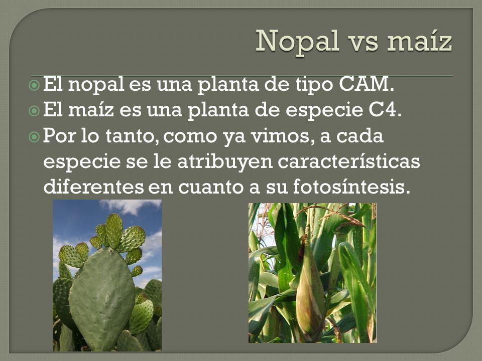 El nopal es una planta de tipo CAM. El maíz es una planta de especie C4. Por lo tanto, como ya vimos, a cada especie se le atribuyen características d