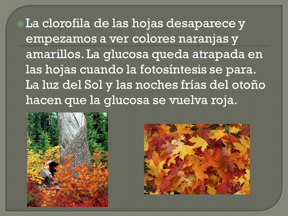 La clorofila de las hojas desaparece y empezamos a ver colores naranjas y amarillos. La glucosa queda atrapada en las hojas cuando la fotosíntesis se
