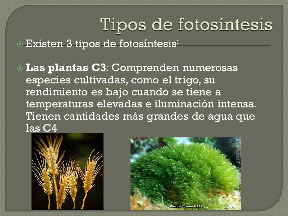 Existen 3 tipos de fotosíntesis : Las plantas C3: Comprenden numerosas especies cultivadas, como el trigo, su rendimiento es bajo cuando se tiene a temperaturas elevadas e iluminación intensa.