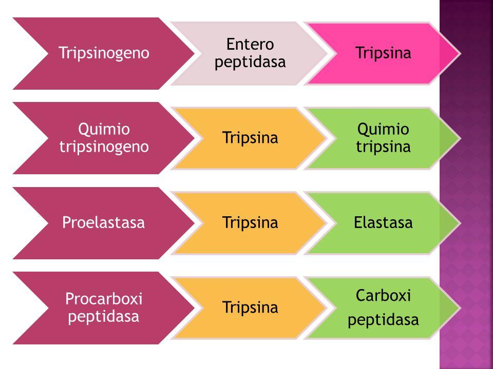 Tripsinogeno Entero peptidasa Tripsina Quimio tripsinogeno Tripsina Quimio tripsina Proelastasa TripsinaElastasa Procarboxi peptidasa Tripsina Carboxi