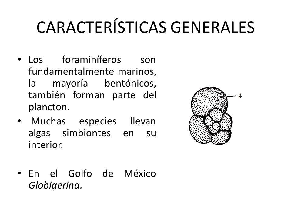 Los foraminíferos son fundamentalmente marinos, la mayoría bentónicos, también forman parte del plancton. Muchas especies llevan algas simbiontes en s