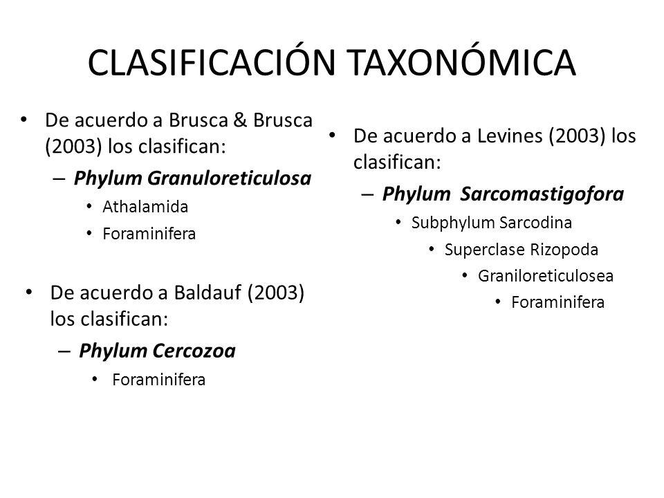CLASIFICACIÓN TAXONÓMICA De acuerdo a Brusca & Brusca (2003) los clasifican: – Phylum Granuloreticulosa Athalamida Foraminifera De acuerdo a Levines (
