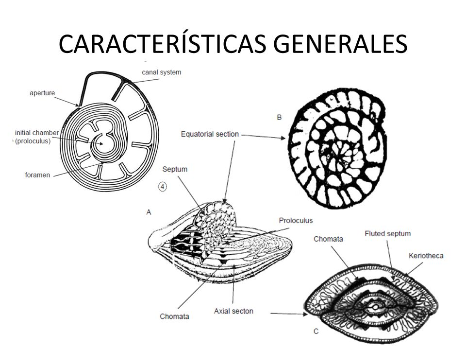 Los foraminíferos son fundamentalmente marinos, la mayoría bentónicos, también forman parte del plancton.