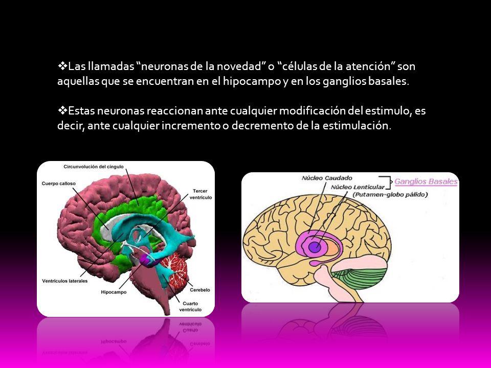 Las llamadas neuronas de la novedad o células de la atención son aquellas que se encuentran en el hipocampo y en los ganglios basales. Estas neuronas