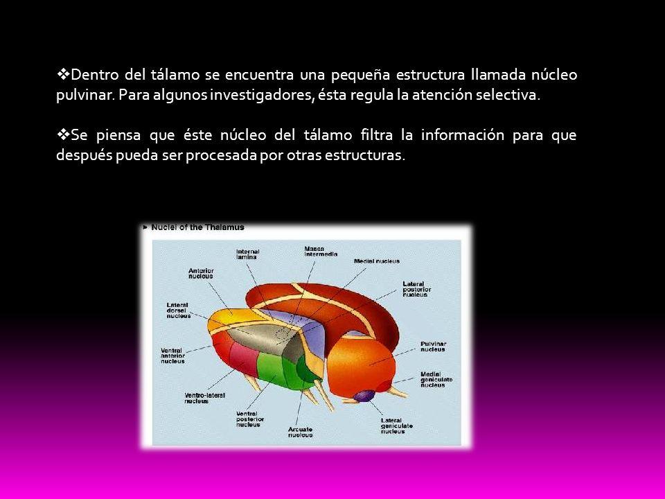 Dentro del tálamo se encuentra una pequeña estructura llamada núcleo pulvinar. Para algunos investigadores, ésta regula la atención selectiva. Se pien