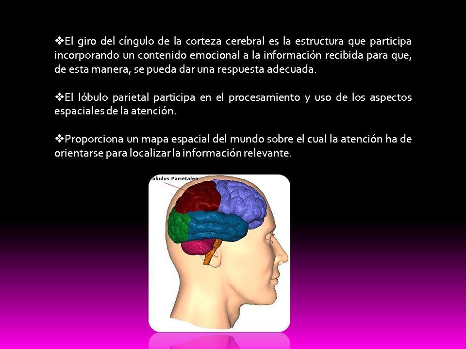 El giro del cíngulo de la corteza cerebral es la estructura que participa incorporando un contenido emocional a la información recibida para que, de e