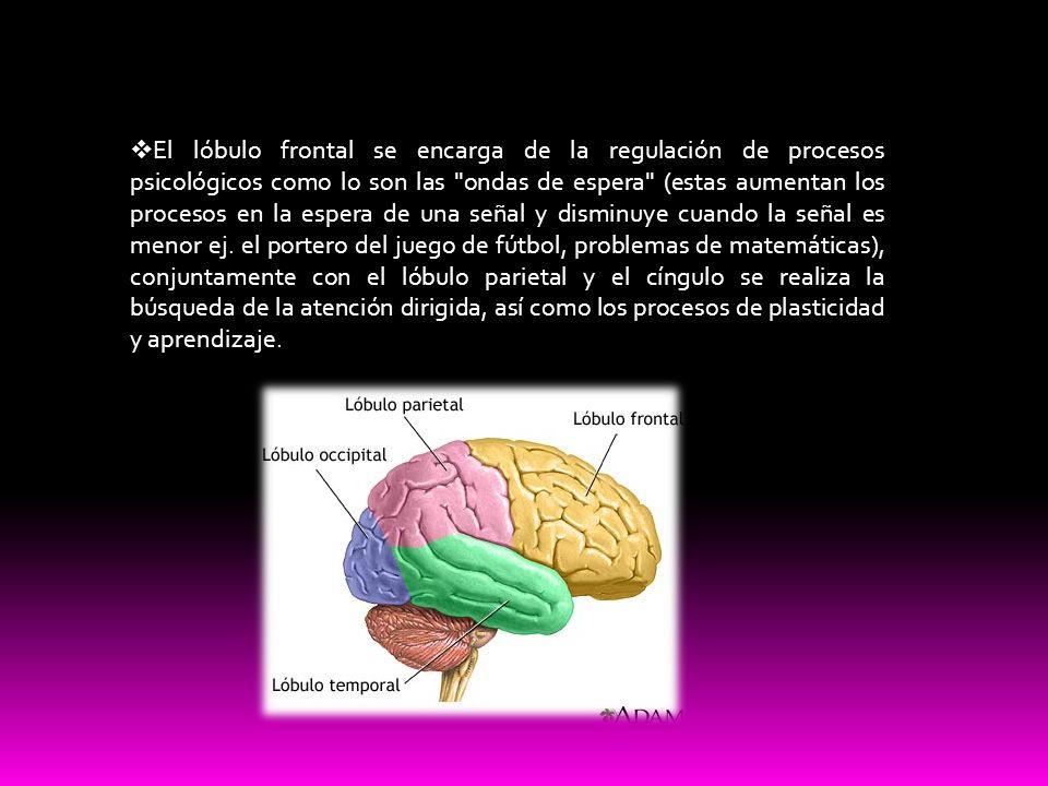 El lóbulo frontal se encarga de la regulación de procesos psicológicos como lo son las