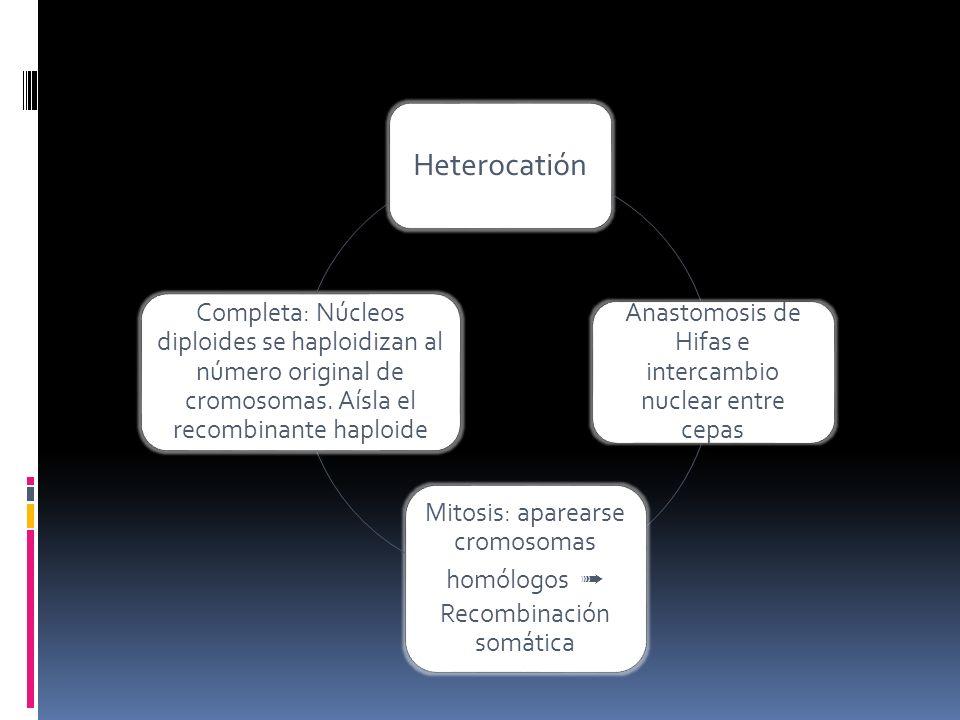 Heterocatión Anastomosis de Hifas e intercambio nuclear entre cepas Mitosis: aparearse cromosomas homólogos Recombinación somática Completa: Núcleos d