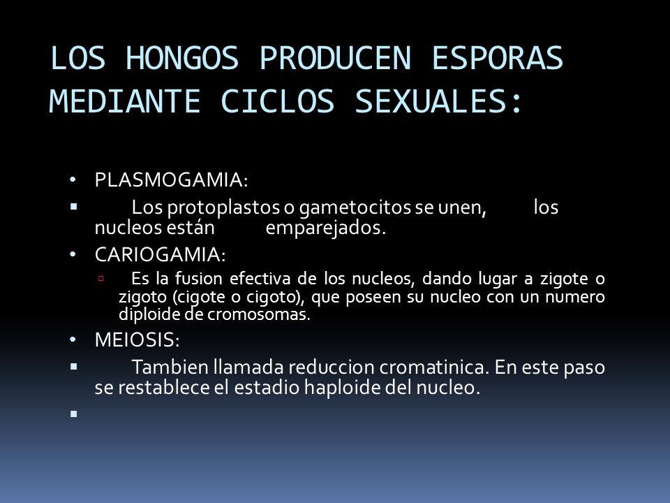 LOS HONGOS PRODUCEN ESPORAS MEDIANTE CICLOS SEXUALES: PLASMOGAMIA: Los protoplastos o gametocitos se unen, los nucleos están emparejados. CARIOGAMIA: