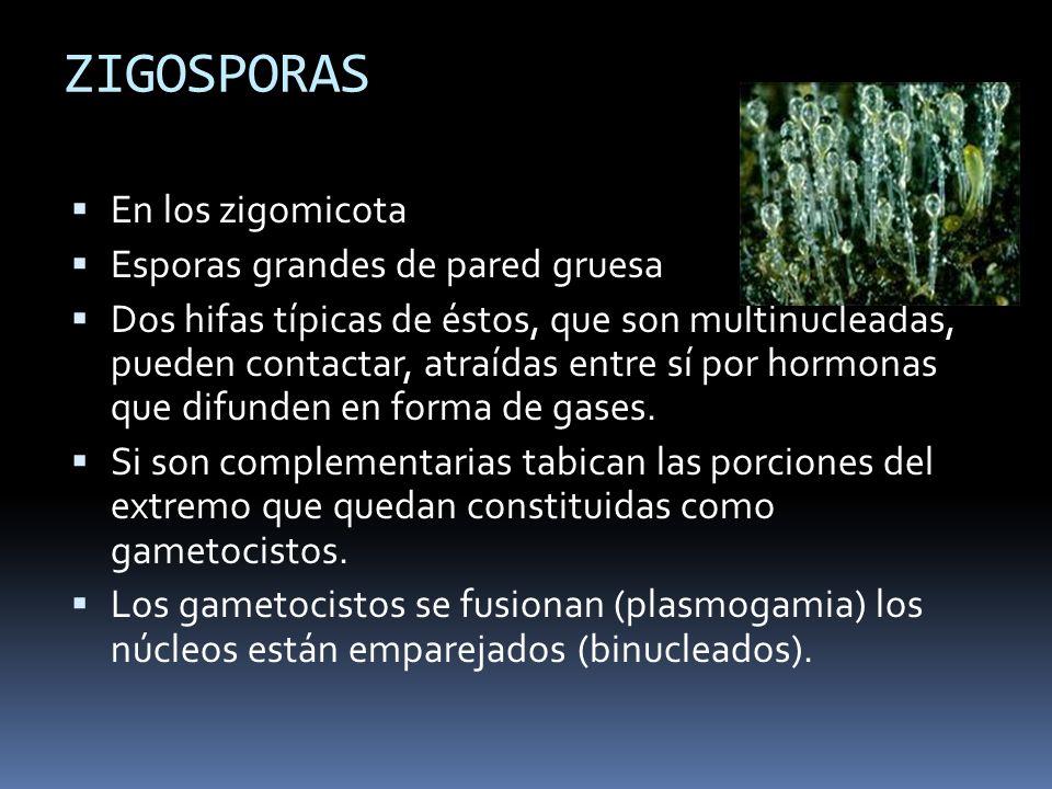 ZIGOSPORAS En los zigomicota Esporas grandes de pared gruesa Dos hifas típicas de éstos, que son multinucleadas, pueden contactar, atraídas entre sí p