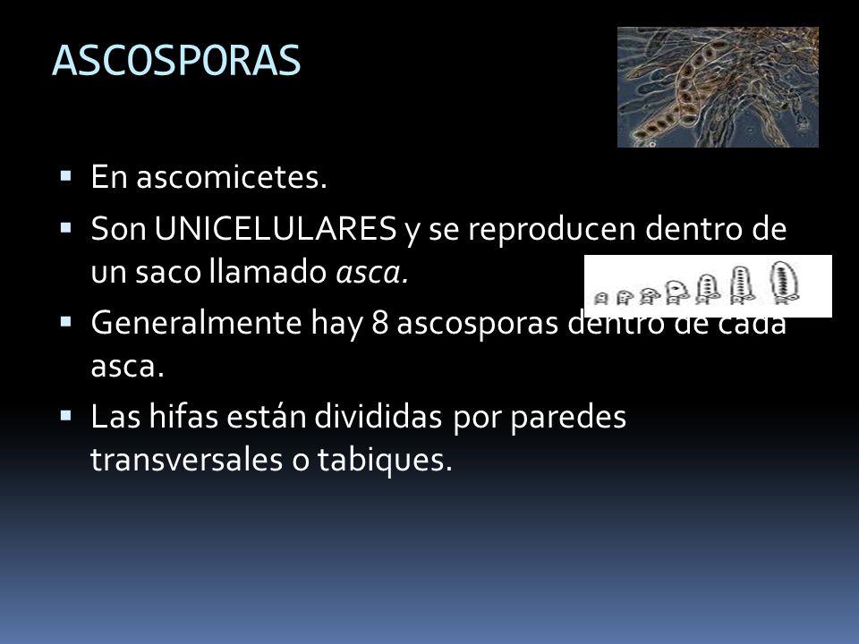 ASCOSPORAS En ascomicetes. Son UNICELULARES y se reproducen dentro de un saco llamado asca. Generalmente hay 8 ascosporas dentro de cada asca. Las hif