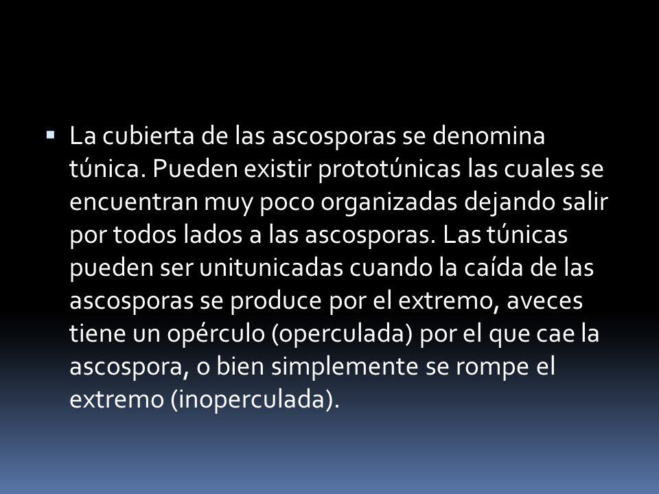 La cubierta de las ascosporas se denomina túnica. Pueden existir prototúnicas las cuales se encuentran muy poco organizadas dejando salir por todos la