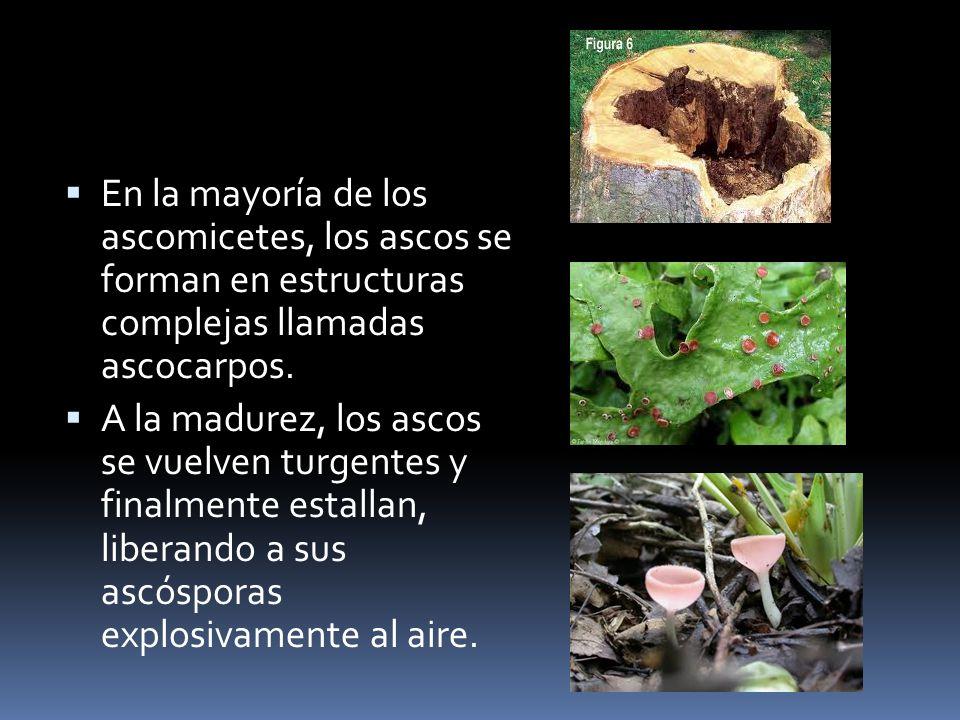 En la mayoría de los ascomicetes, los ascos se forman en estructuras complejas llamadas ascocarpos. A la madurez, los ascos se vuelven turgentes y fin